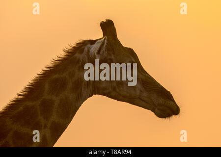 Giraffe (Giraffa giraffa) Kopf Silhouette in orange Nachmittag Licht im Krüger Nationalpark, Südafrika - Stockfoto