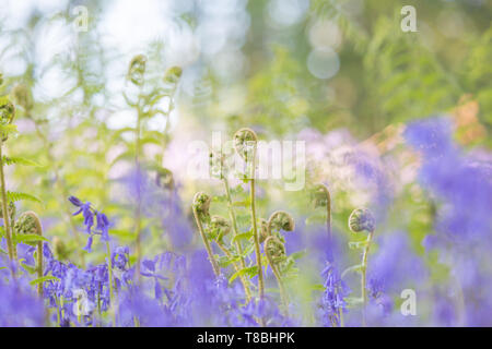 Bluebell wood mit Kreativen verträumte Effekt - Stockfoto