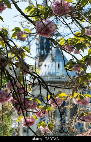 Die blühenden Kirschbaum vor dem Hintergrund der Kathedrale Notre-Dame de Paris. - Stockfoto