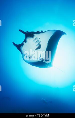 Oceanic (mobula Manta birostris) Schwimmen im Blau mit Sonnenstrahlen - Unterwasserwelt von Revillagigedo Archipel - Stockfoto