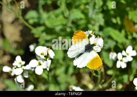Männliche orange tip Schmetterling (Anthocharis cardamines) in einem Frühling Sommer Garten an einem sonnigen Tag, sitzend auf lobelia Blumen - Stockfoto