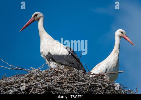 Ein paar Störche stehen in einem Nest, wenn das Wetter schön ist und der Himmel ist blau - Stockfoto