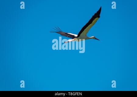 Ein Storch fliegt bei schönem Wetter im blauen Himmel - Stockfoto