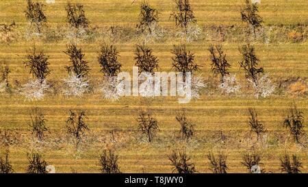 Frankreich, Alpes-de-Haute-Provence, Brunet, Mandel- Feld (Luftbild) - Stockfoto