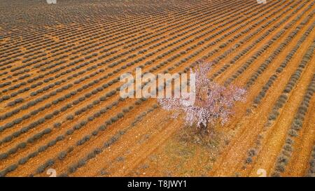 Frankreich, Alpes de Haute Provence, Regionaler Naturpark Verdon, Plateau von Valensole, Saint Jurs, Lavendel und Mandelblüte Feld (Luftbild) - Stockfoto