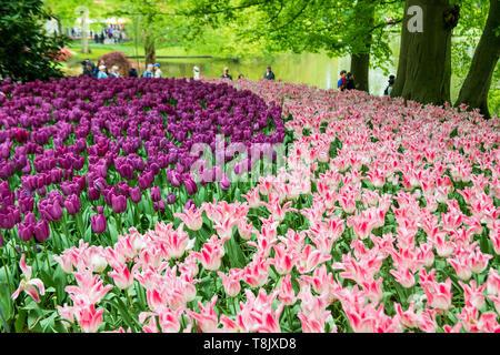Keukenhof Gardens Touristen - Niederlande - Tourismus Tulpen - rosa und lila Tulpen - Tulpe Blume Betten - Tulip Blumen - rosa Tulpen - lila Tulpen - Stockfoto