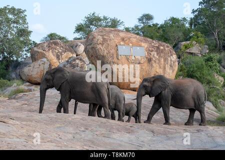 Familie Gruppe Elefanten wandern vorbei an der Paul Kruger Mahnmal im Krüger Nationalpark, Südafrika. - Stockfoto