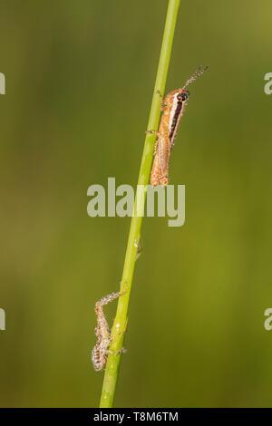 Sporn - throated Grasshopper (Melanoplus sp.) auf einem Betrieb stammen. - Stockfoto