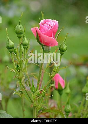 Rosenbusch mit rosa Rosen - Stockfoto