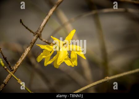 Close-up gelb Forsythia Blumen im Frühjahr - Stockfoto