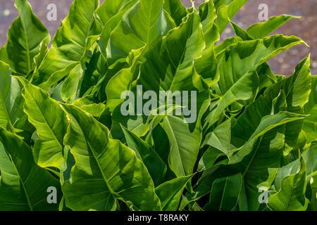 Pfeilspitze Anlage (sagittaria Latifolia) in einem Feuchtgebiet in Wasser schlucken. - Stockfoto