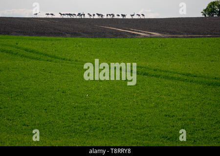 Eine große Gruppe von Kränen auf den Horizont auf ein Feld - Stockfoto