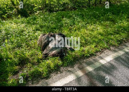 Ein toter Nandu liegt direkt an der Straße nach einer Kollision mit einem Auto - Stockfoto