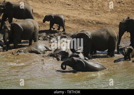 Elefantenherde genießen ein Schlammbad - Stockfoto