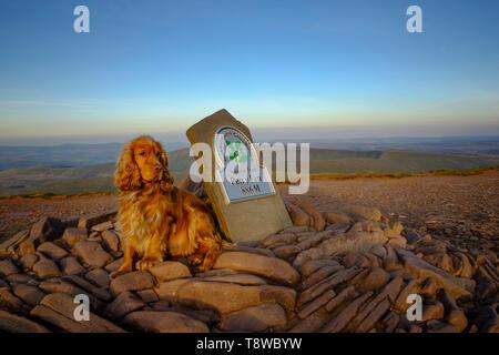 Ein roter Cocker Spaniel, setzte sich an den Gipfel Cairn auf der Oberseite des Pen-y-Fan Berg, Brecon, Powys, Wales UK. Pen-yFan ist der höchste Gipfel in South Wales. - Stockfoto