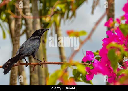 Carib Grackle (Quiscalus Lugubris) - Stockfoto
