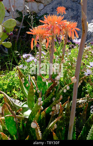 Kleine Schnecken auf saftigen Blätter in Parana, Axarquia, Malaga, Andalusien, Costa del Sol, Spanien - Stockfoto
