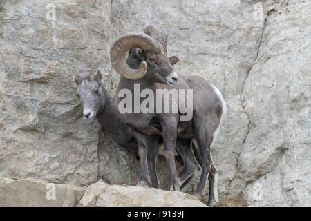 Ein erwachsenes Männchen Bighorn sheep'Ovis canadensis', den Schutz seiner Ewe aus anderen Rams im lamar Valley Yellowstone National Park. - Stockfoto