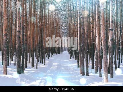 Gasse im Winter Forest. Hohe schneebedeckte Kiefern in sonniges Wetter. Wunderbarer Ort zum Entspannen und Wochenende. Wintermärchen Stockfoto