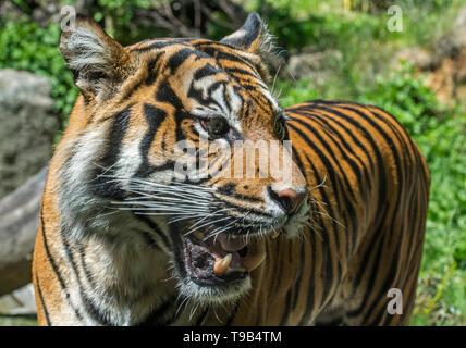Close-up Knurren/roaring Sumatra-tiger (Panthera tigris sondaica), die Schneidezähne und Eckzähne in offenen Mund, native auf Sumatra, Indonesien - Stockfoto