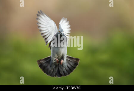 Nahaufnahme eines Wilde Taube (Columba livia domestica) im Flug. - Stockfoto