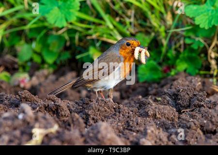 Robin mit Würmern im Schnabel - Stockfoto