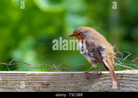 Robin stand auf Zaun im Wind - Stockfoto