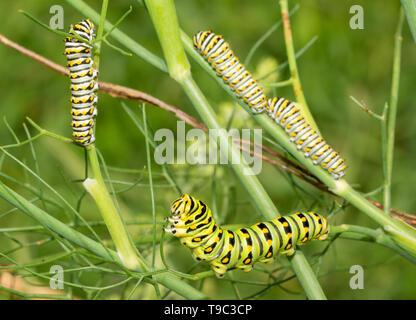 Grün, Gelb und Schwarz Gestreifte 5. instar eines östlichen Schwalbenschwanz Schmetterling Raupe Fütterung auf ein Fenchel, mit drei Vierten instars auf t - Stockfoto