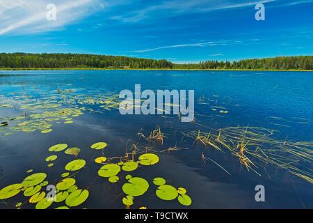 Seerosen auf alte Frau See in der Nähe von Sioux Narrows Ontario Kanada - Stockfoto