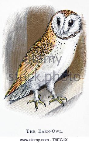 Schleiereule (Tyto alba), vintage Abbildung im Jahr 1898 veröffentlicht. - Stockfoto