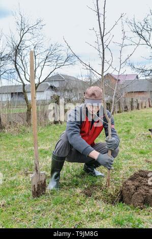 Arbeit in einem Garten. Ein Mann einen Baum pflanzen in Grube gegraben. - Stockfoto