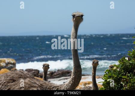 Wilde Strauße auf der Kap Halbinsel bei Kapstadt, Südafrika - Stockfoto