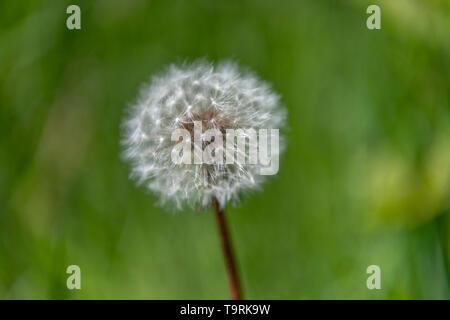 Flache Tiefenschärfe geschossen von einem Löwenzahn Samen Kopf, auch als Dandelion Clock bekannt. Lateinischer Name ist Taraxacum asterales. - Stockfoto