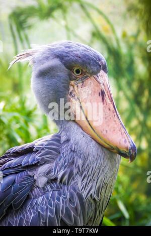 Der schuhschnabel Balaeniceps rex auch als whalehead oder Schuhe, Bekannt-billed Stork fliegen. Afrikanischer Storch fliegen. - Stockfoto