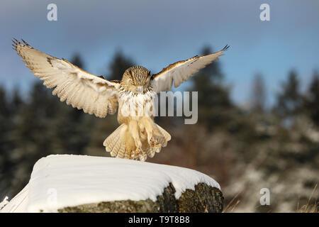 Östlichen Sibirische Uhu, Bubo bubo Sibiricus, Landung auf Rock mit Schnee. - Stockfoto