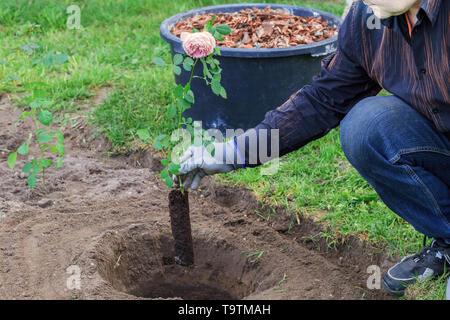 Gärtner pflanzen einen Rosenbusch in einem gegrabenen Loch - Stockfoto