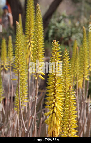 In der Nähe von mehrere Blüte Stängel der Aloe Vera in der Wüste von Arizona, USA Mit einem unscharfen Hintergrund - Stockfoto