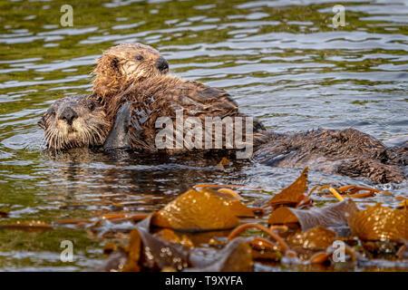 Seeotter (Enhydra lutris) Mama mit Baby ein vor der nordwestlichen Küste von Vancouver Island, Cape Scott, British Columbia, Kanada. - Stockfoto