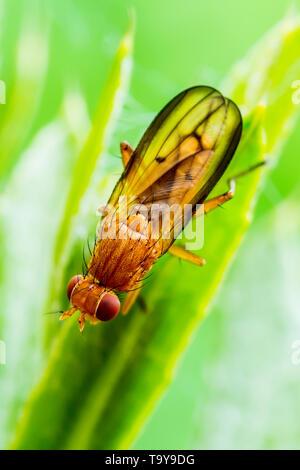 Exotische Fruchtfliege Drosophila Diptera Insekt auf Pflanze Blatt - Stockfoto
