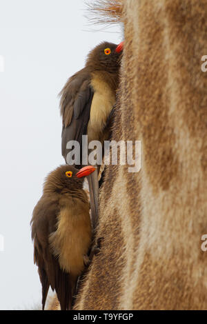 Red-billed oxpeckers (Buphagus erythrorhynchus), Hängen um den Hals eines Südafrikanischen Giraffe (Giraffa Camelopardalis giraffa), Krüger NP, Afrika - Stockfoto