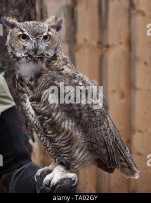 Eurasische Adler-Eule