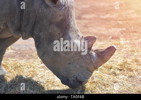 Porträt einer netten männlichen Stier White Rhino auch afrikanischen Nashorn mit geschnittenen Horn von Zoo genannt