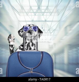 Dalmatiner Hund wartet am Flughafen mit blauen Koffer - Stockfoto