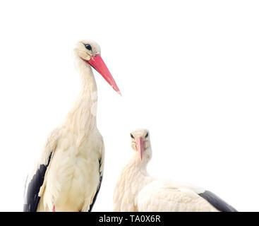 Weißstorch-Familie isoliert auf weiss - Stockfoto