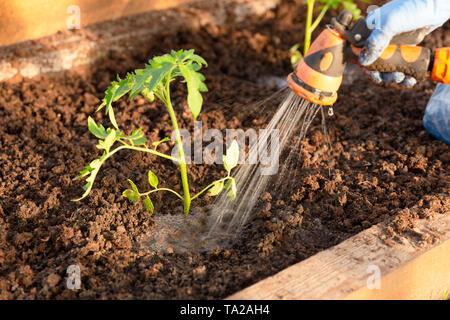 Die Frau Hände pflanzen Tomate Sämlinge im Gewächshaus. Organisches Im Garten arbeiten und Wachstum Konzept - Stockfoto