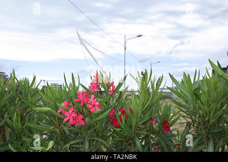 Nerium oleander in voller Blüte - Stockfoto