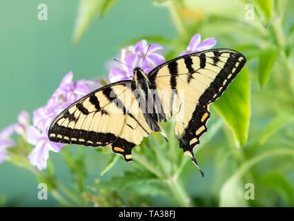 Tattered kanadischen Tiger Swallowtail butterfly (papilio canadensis) - Ansicht von oben Stockfoto