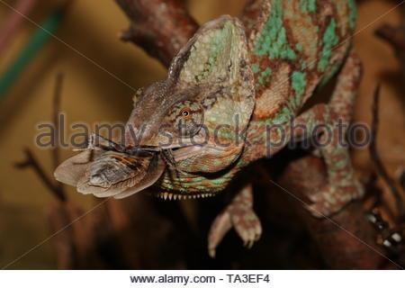 Veiled Chameleon auf der Nähe zu horizontalen Bild mit eine große Kakerlake im Mund. Eine gemeinsame Wüste Reptilienarten oft als Haustier gezüchtet.