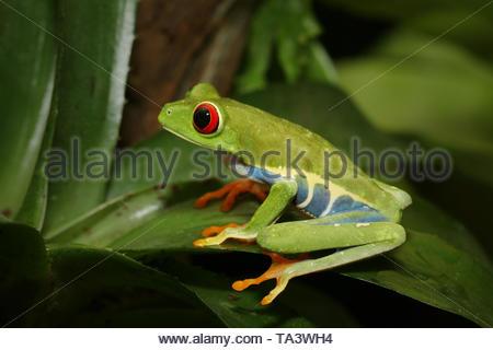 Rotäugigen Baumfrosch, eine hylid native Neotropischer Regenwälder auf der Nähe zu horizontalen Bild. Eine farbenfrohe Arten mit großen Augen manchmal - Stockfoto