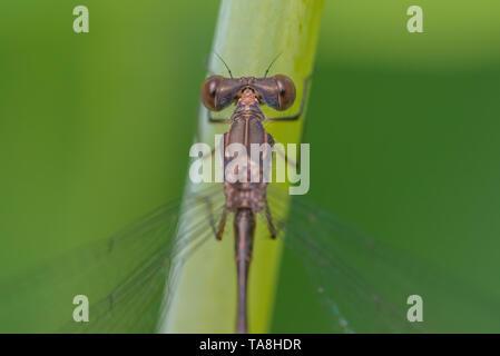 Extreme closeup Makro des spreadwing damselfly auf Grashalm in Theodore Wirth Park-oberen Mittelwesten - Detail der Augen- und Thorax mit grünen Bac - Stockfoto